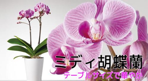 ミディ胡蝶蘭 2本立 ピンク