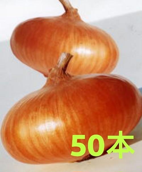 【玉ねぎ苗】貝塚早生 (50本)