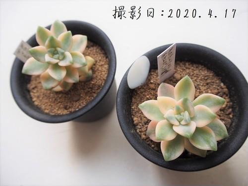 ティトゥバンス錦(グラプトベリア属)多肉植物 カクタス長田 3号