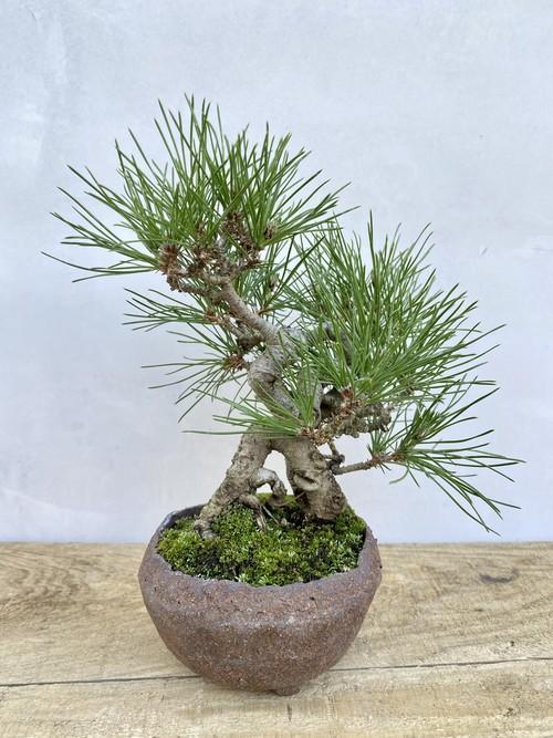 【送料無料】三河黒松 盆栽 一点物 陶器鉢 趣味 コレクション ルル盆