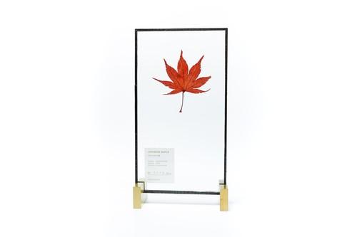 Japanese Maple イロハモミジ