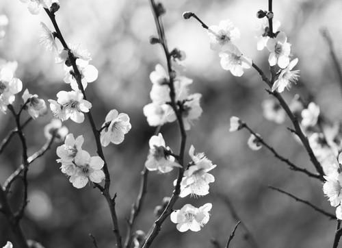 糸崎公朗『梅の花 P2260361』A4size