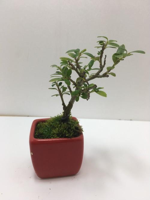 ミニ盆栽 白実のツゲ