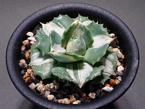Agave isthmensis 'Ohi Raijin' f.variegata アガベ 王妃雷神 白斑