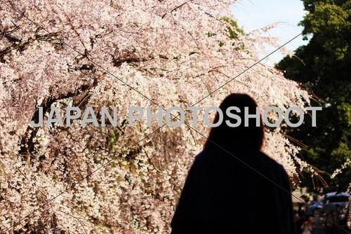 満開の桜(サクラ)を眺める女性2
