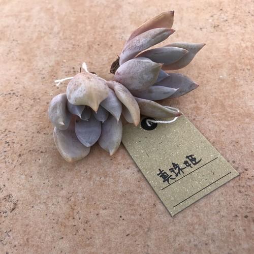 真珠姫 韓国苗