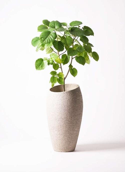 観葉植物 フィカス ウンベラータ 8号 ノーマル エコストーントールタイプ Light Gray 付き