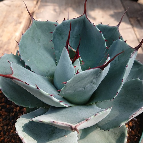 no.3 アガベ パリー トランカータ agave parryi truncata 子株付き 【発根済】