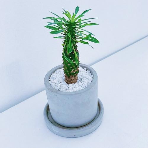 ユーフォルビア・パイナップルコーン Euphorbia 'pineapple corn' 10/14
