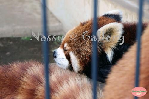 ねんねしてるレッサーパンダ~Sleeping red pandas~