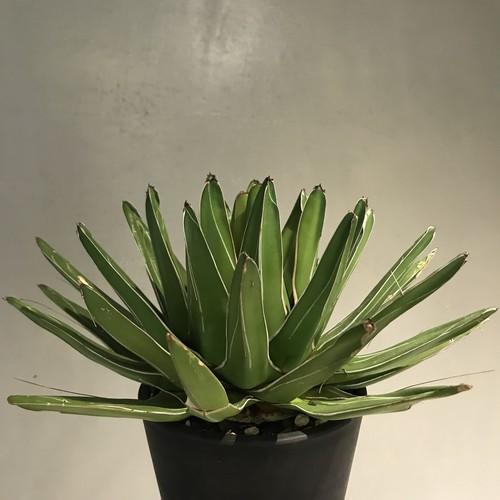 アガベ笹の雪 agave victoriae reginae