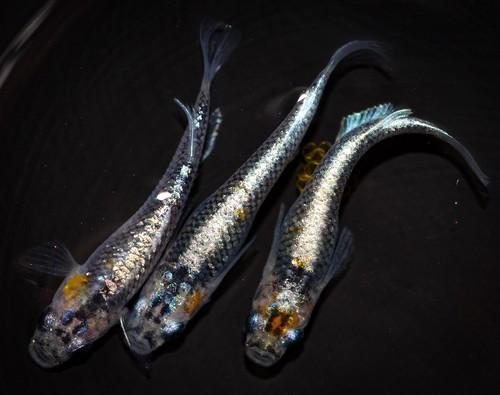 ◆伊香保FF スタッフおすすめ◆ オーロラ黄ラメ体外光 若魚(2020年産まれ) オス1 メス2(現物出品) ikahoff T-0426-8727-a