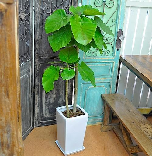 I0222) 観葉植物 ウンベラータ