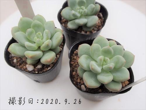 多肉植物 ルスビィー(パキベリア属)いとうぐりーん 産直苗 2号