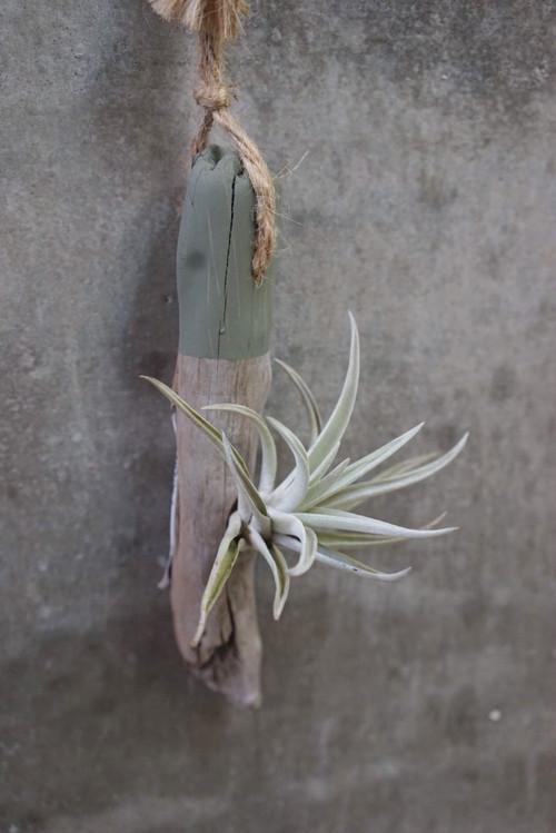 Hanging Driftwood Tillandsia - color