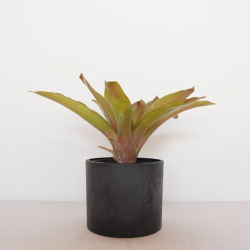 [black pot]ブロメリア ネオレゲリア属 フエゴアンチョ