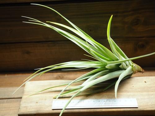 チランジア / ラティフォリア スパイラル (T.latifolia 'Spiral')