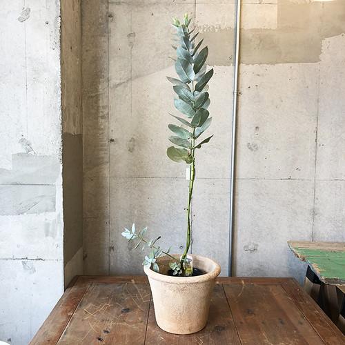 【庭木】ユーカリ・プレウロカルパ(ネイティブ プランツ)