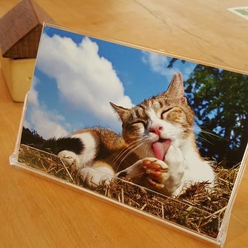 さくらねこポストカード(12枚セット)