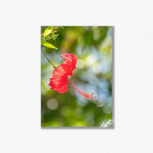 お庭を彩るアカバナ