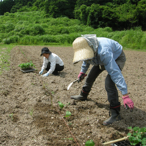 青大豆・サトウイラズ1kg入(平成28年産自然栽培)