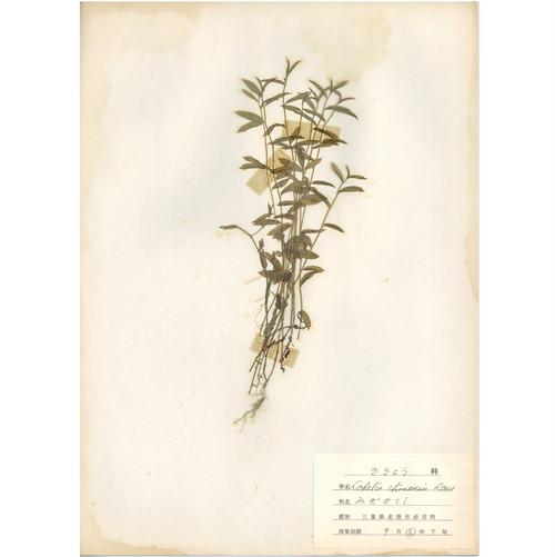 日本の古い植物標本 037