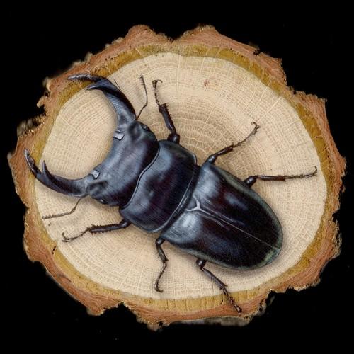 【原画】輪切り絵アート:オオクワガタ (Stag beetle)