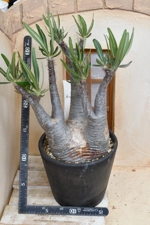 TK-20  グラギリス パキポディウム グラギリス Pachypodium Gracilius
