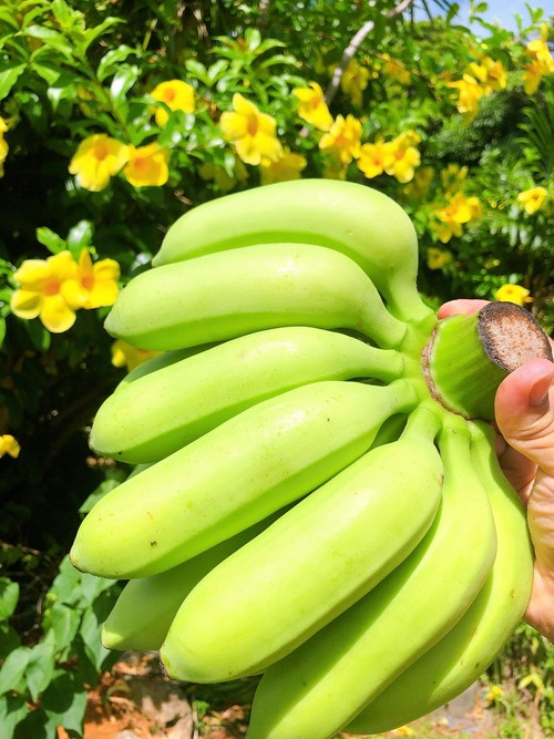 島バナナ【2kg】(税込・送料別)