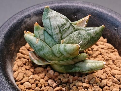 Sansevieria boncellensis 'super dwarf' サンスベリア (サンセベリア) ボンセレンシス スーパードワーフ