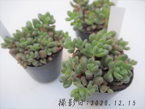 多肉植物 ジェットバース(セダム属)いとうぐりーん 産直苗  2号