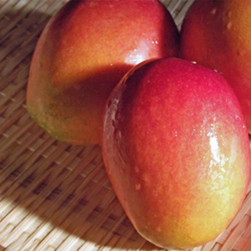 宮古島産 家庭用 完熟アップルマンゴー1kg (2~3玉)15度以上 新鮮 宮古島産マンゴー
