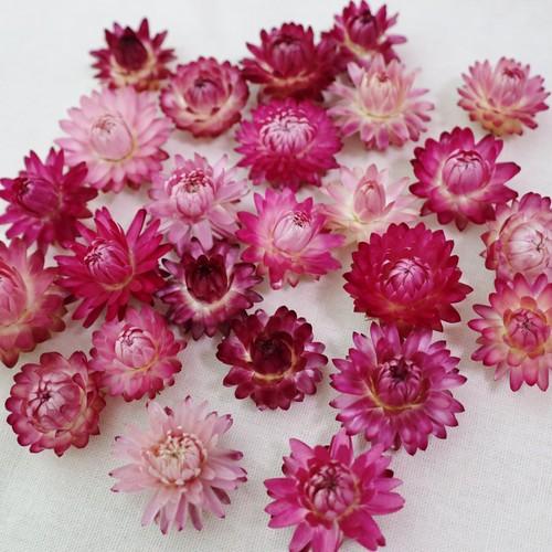 【花材】ヘリクリサム(ムギワラギク)赤・ピンク系