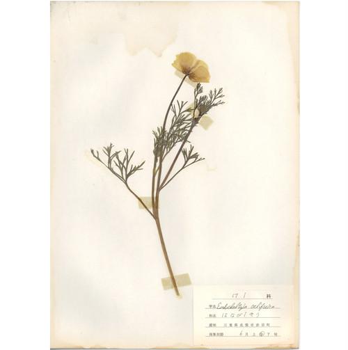 日本の古い植物標本 005
