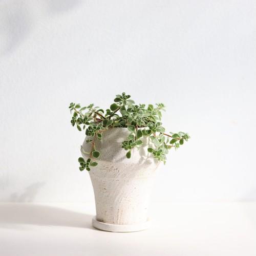 【グリーン・多肉植物】セダム