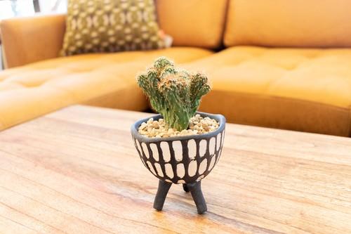 Triple Legs Cactus - 金獅子 -