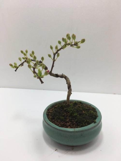 ミニ盆栽 リンショウバイ