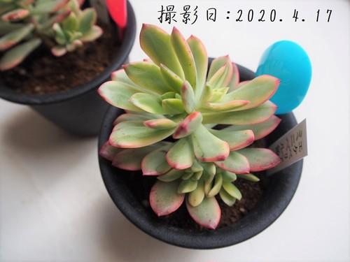 ミニベル錦(エケベリア属)多肉植物 カクタス長田 3号