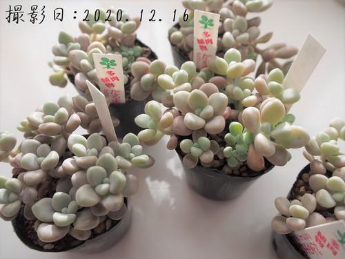多肉植物 だるま秋麗(グラプトペダルム属)いとうぐりーん 産直苗 2号
