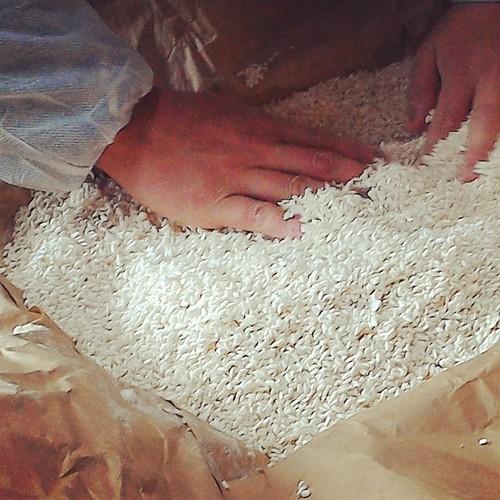 飛騨産 米糀 (生糀)500g(農薬・化学肥料・除草剤不使用栽培)