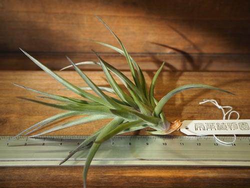 チランジア / アエラントス ブロンズ (T.aeranthos 'Bronze') XLサイズ