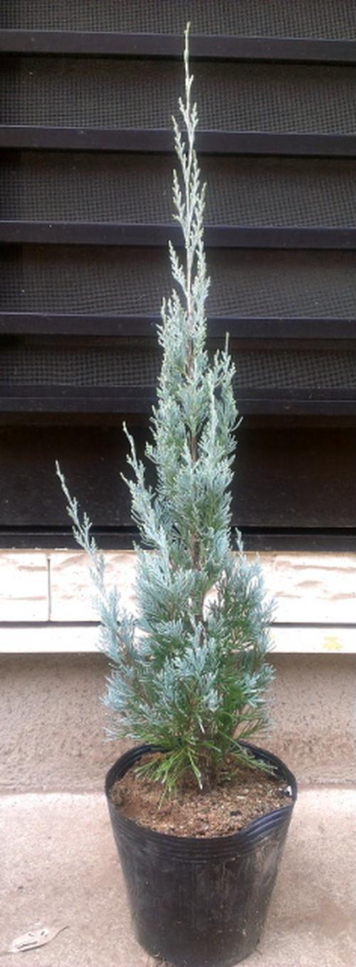 【ウィチタブルー】樹高約0.6m