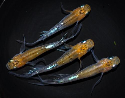 煌 松井ヒレ長  若魚(2020年産まれ) オス2 メス2 (現物出品) ikahoff A-0907-4736-a