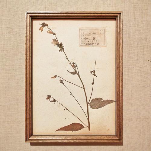 植物標本 フレーム 1929 vintage 18MAR-VSH02