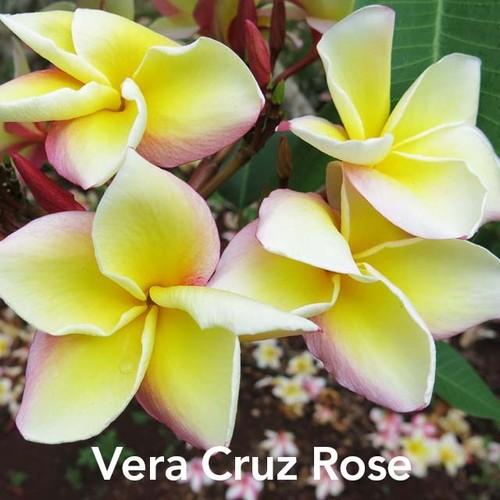 Vera Cruz Rose