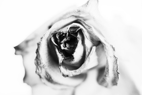 Rose Noir  #21