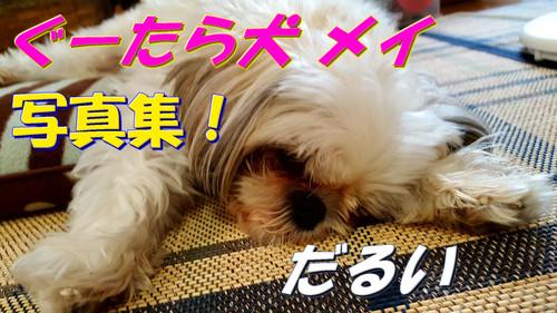【もふもふ写真集】ぐーたら犬 メイ【シーズー メス 2歳】