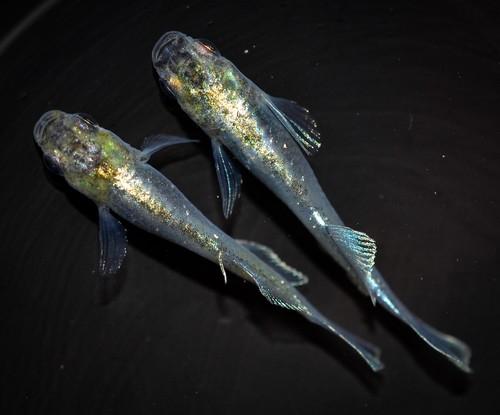 *伊香保FF スタッフおすすめ* 鱗光光体型 若魚(2020年産まれ) ♂サムライ オス1 メス1 (現物出品) ikahoff I-0208-7087-a