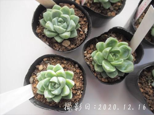 多肉植物 ケッセルリンギアナ(エケベリア属)いとうぐりーん 産直苗 2号
