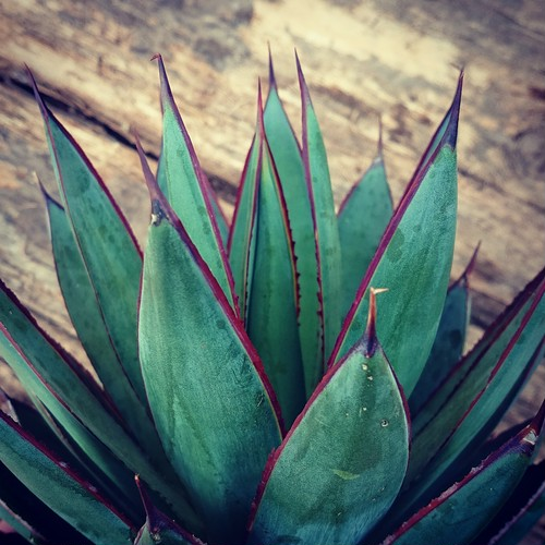 no.1 アガベ ブルーグロー agave blue grow 【発根済】